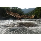 Swoop - An Eagle Catching a Salmon