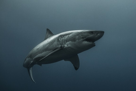The Great White Shark 3